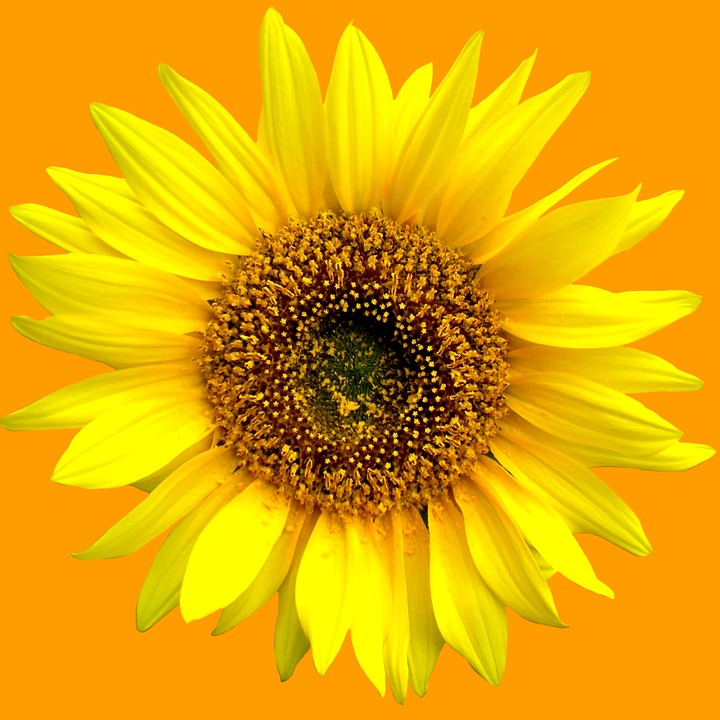Sunflower, Summer, Flowers, Sun, Plant, Blossom, Bloom