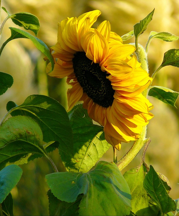 Sun Flower, Blossom, Bloom, Plant, Sunflower, Close