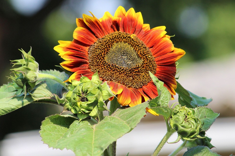 Sun Flower, Bud, Summer, Blossom, Bloom, Sunflower Bud