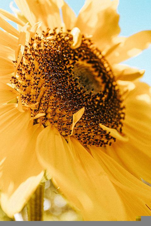 Sunflower, Plant, Petal, Flower, Bloom, Yellow, Nature