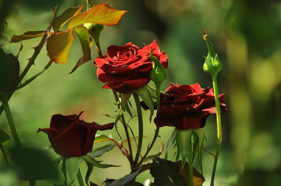 Three Roses, Red, The Buds, Light, Greens, Bloom, Love