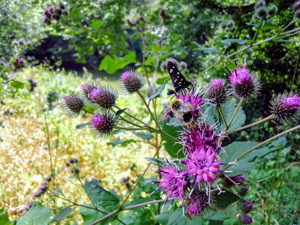 Distel, Thistle, Bee, Nature, Purple, Bloom, Colorful