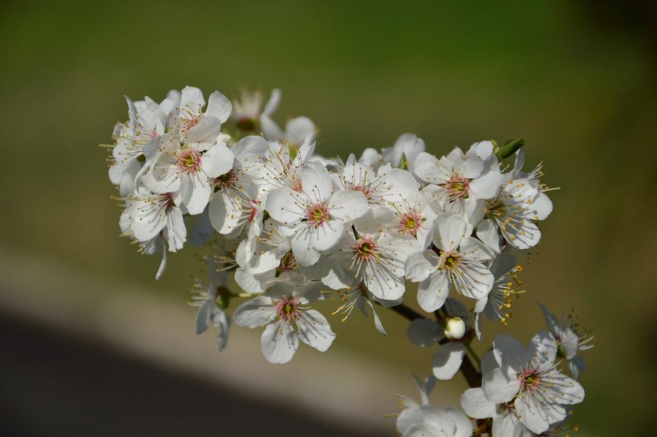 Spring, Cherry Blossom, Flowers, Blossom, Bloom, Tree