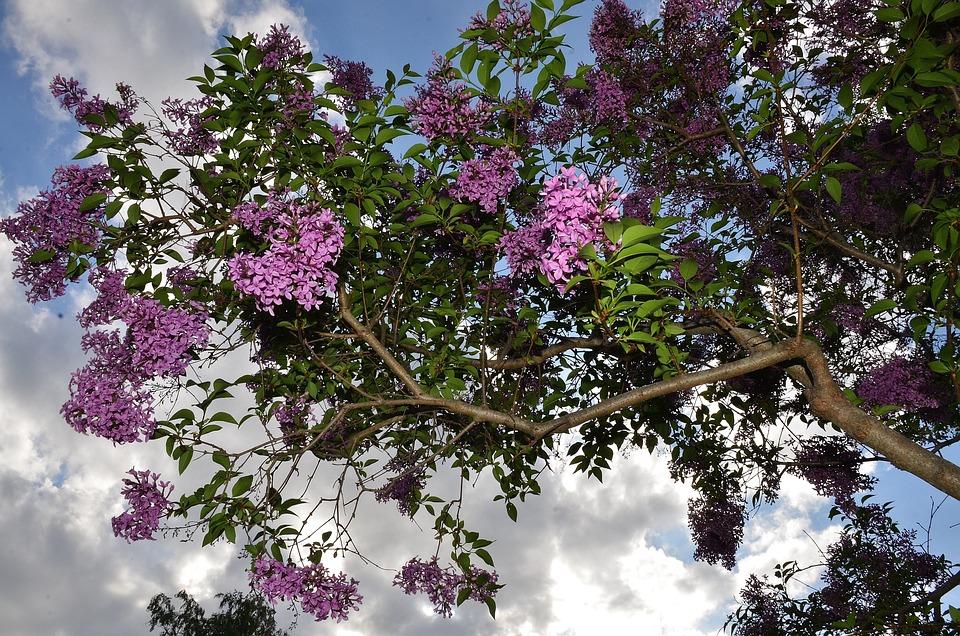 Shrub, Lilac, Bloom, Tree, Bush