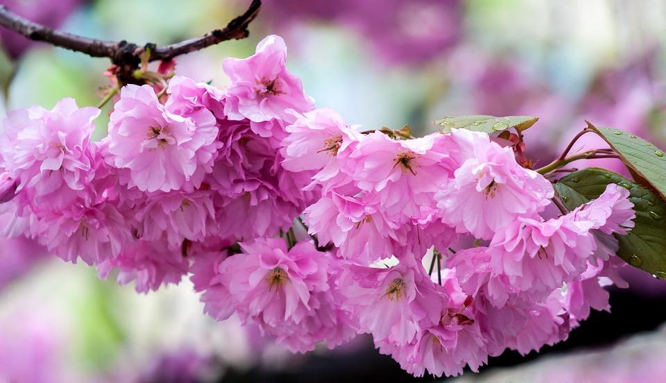 Pink, Cherry, Blossom, Bloom, Tree, Spring