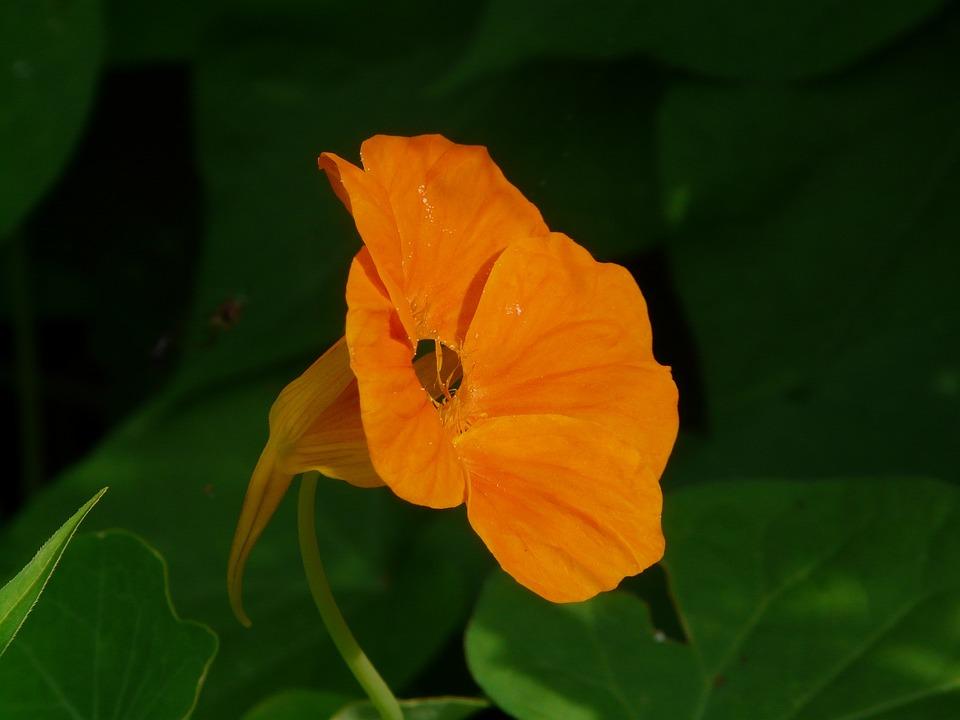 Tropaeolum Majus, Blossom, Bloom, Nasturtium