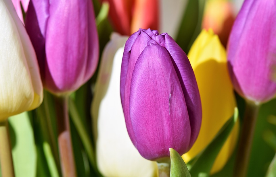 Tulip, Blossom, Bloom, Tulip Bouquet, Spring Flowers