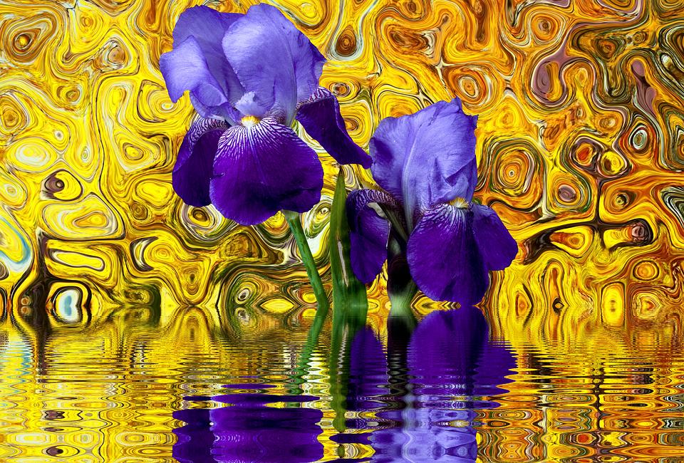 Iris, Flower, Blossom, Bloom, Purple, Violet, Isolated