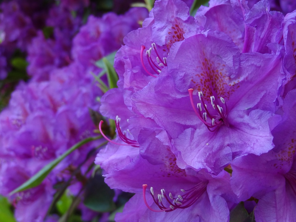 Rhododendron, Ericaceae, Blossom, Bloom, Purple, Violet