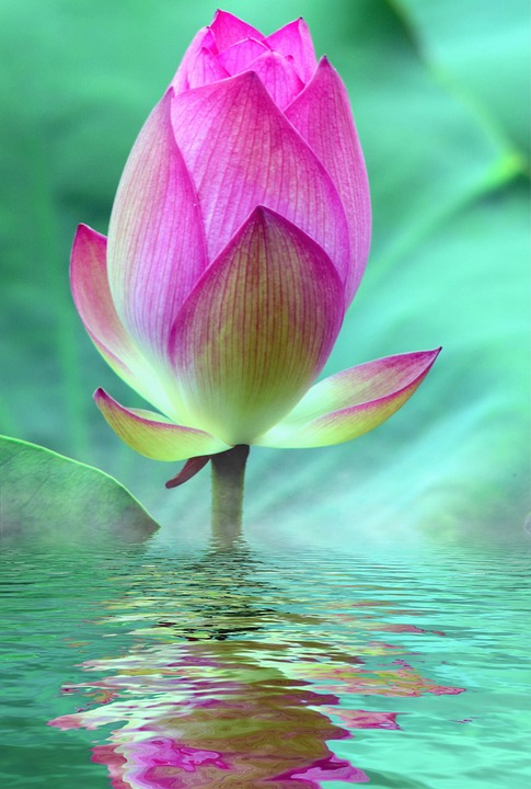 Free Photo Bloom Water Lily Pink Lotus Blossom Max Pixel