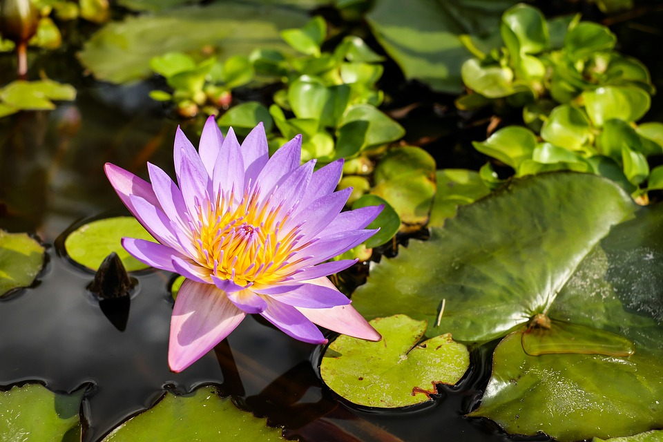 Water Lily, Flower, Blossom, Bloom, Bloom, Purple