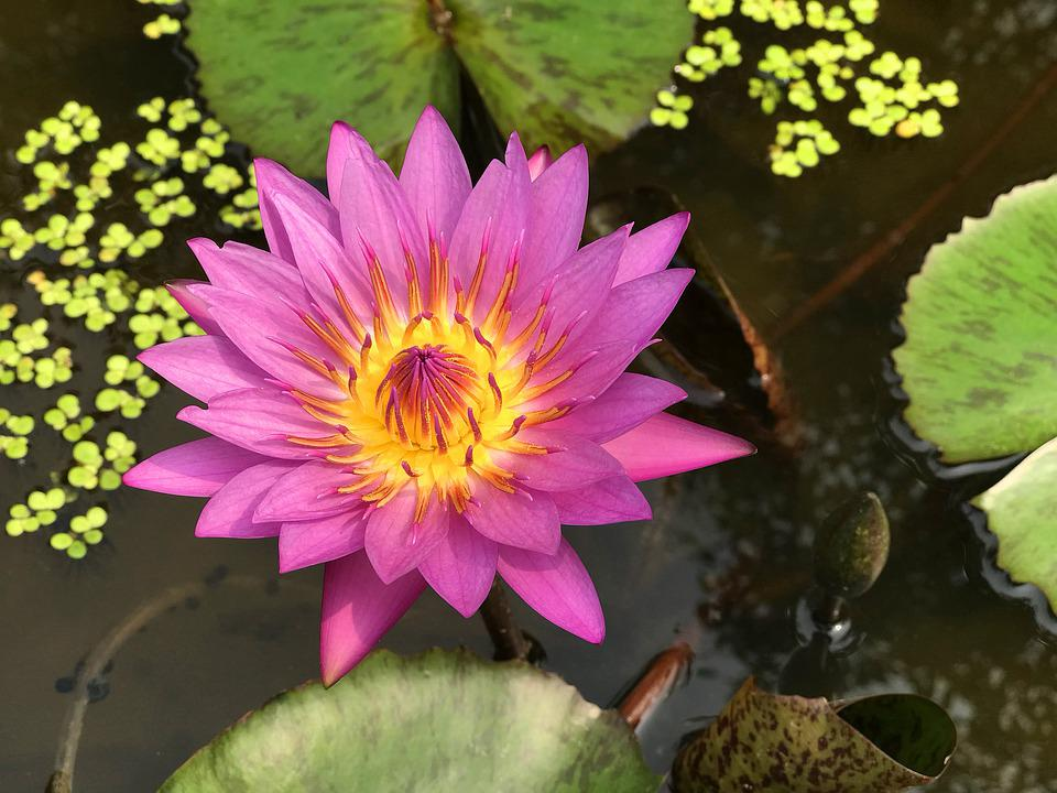 Flower, Pond, Bloom, Lotus, Water, Nature, Blossom
