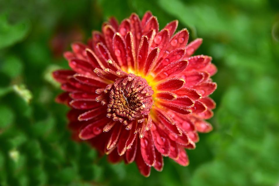 Chrysanthemum, Flower, Blossom, Bloom, Moist, Wet, Drip