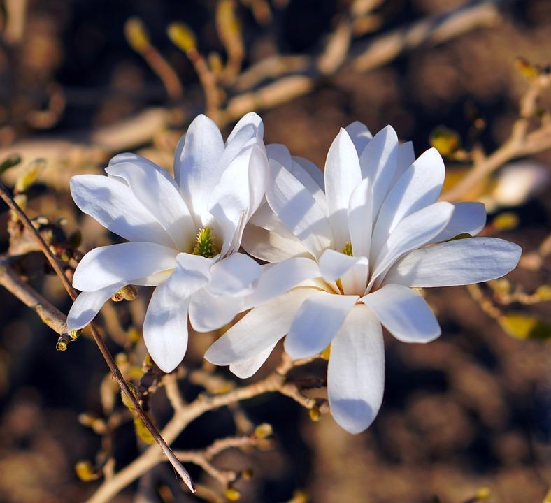 Magnolia, Blossom, Bloom, White, Spring