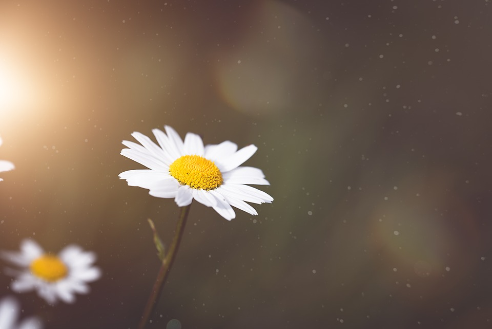 Marguerite, Flower, Blossom, Bloom, White, Summer
