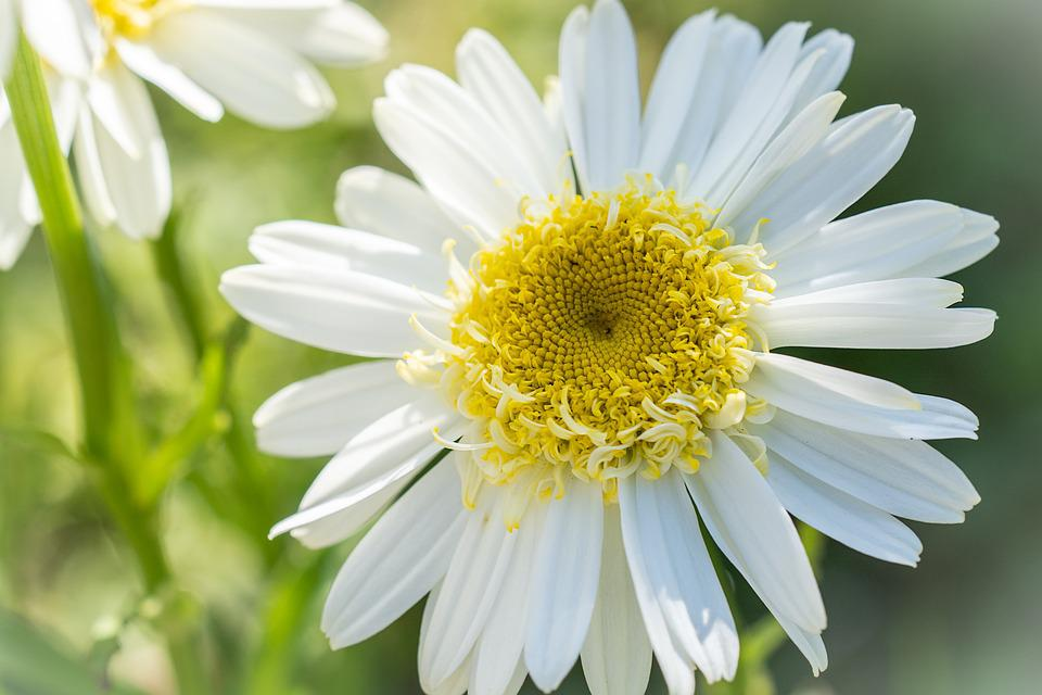Marguerite, Flower, White, White Flower, Blossom, Bloom