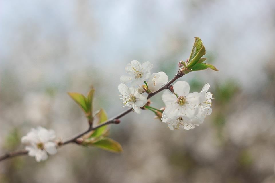Spring, Bloom, Cherry, Flower, White, Tree, Branch