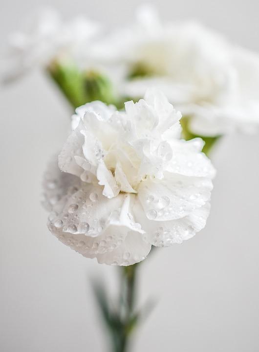 Carnation, White, Flowers, Blossom, Color, Bloom