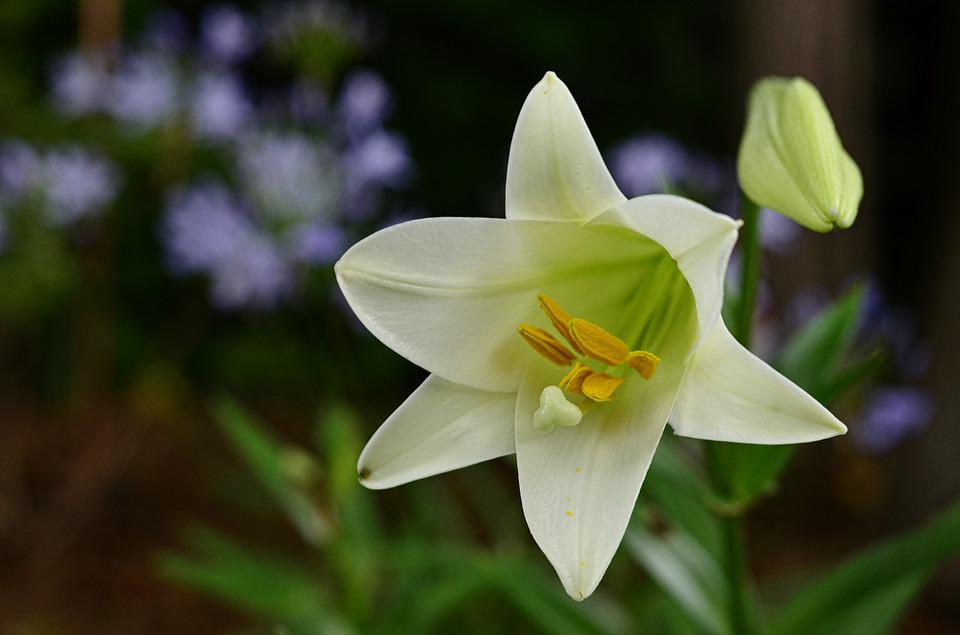 Easter, Lily, Flower, Bloom, White, Spring, Nature