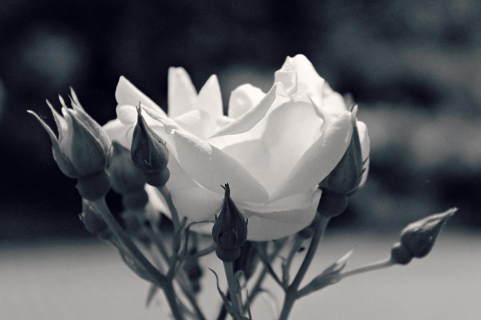 Rose, Flower, Blossom, Bloom, Nature, White