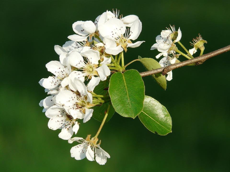 Flowers, White, Pear, Pear Blossom, Blossom, Bloom