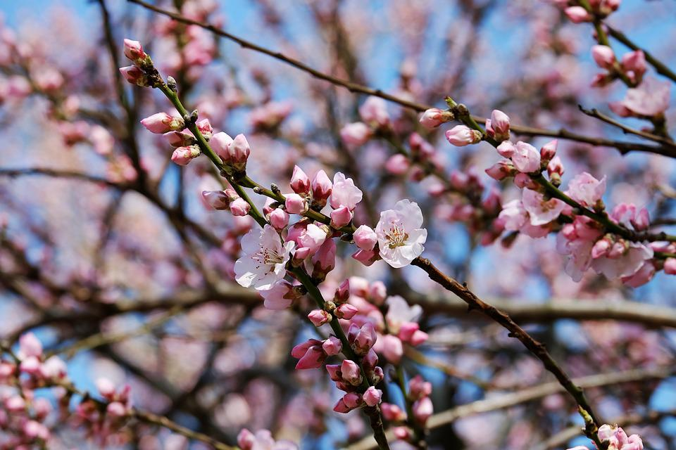 Japanese Cherry Trees, Flowers, Pink, White, Bloom