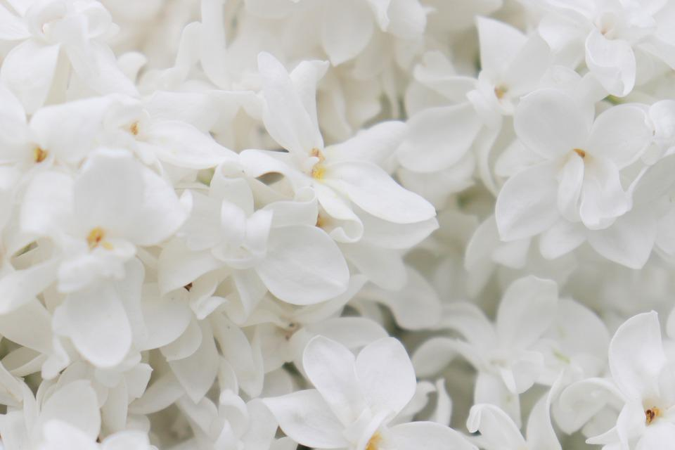 Lilac, White, Flowers, Spring, Bloom, Nature, Flower