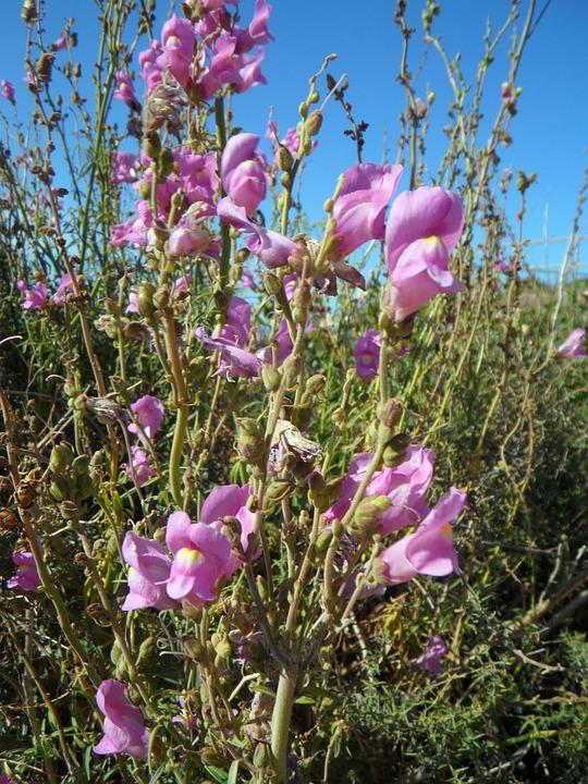 Loewenmaeulchen, Wild, Wild Flower, Bloom, Blossom