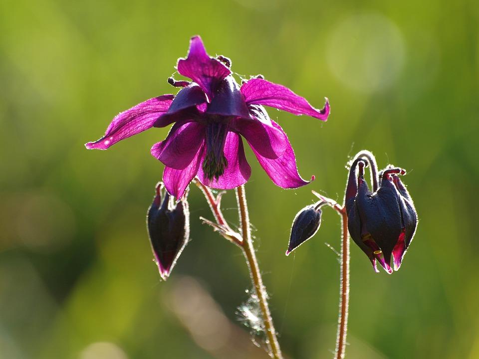 Columbine, Flower, Blossom, Bloom, Wild Flower, Plant