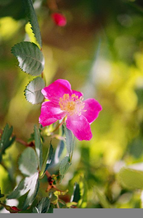 Vinegar Rose, Blossom, Bloom, Rose, Wild Rose