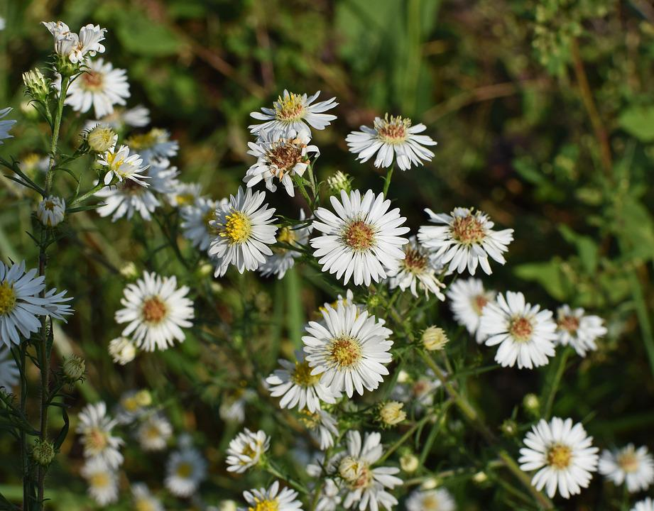 Free Photo Bloom Wildflower Flower White Aster Plant Blossom Max Pixel