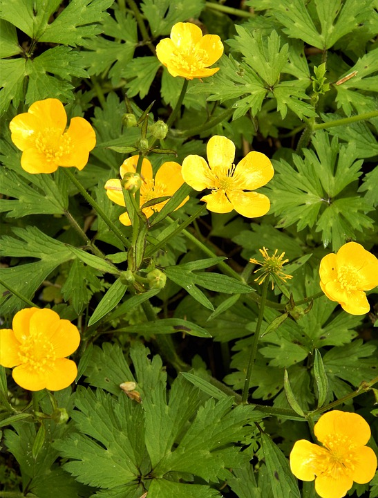 Buttercups, Wildflowers, Yellow Flowers, Bloom, Blossom