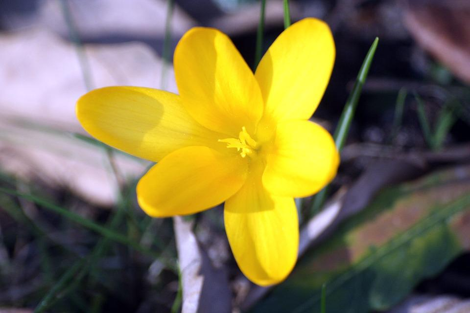 Crocus, Yellow, Blossom, Bloom, Mm, Spring