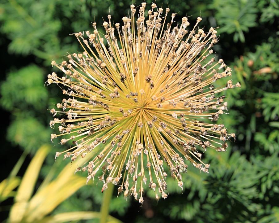 Free photo bloom yellow flower yellow ball blossom max pixel blossom bloom yellow ball yellow flower mightylinksfo