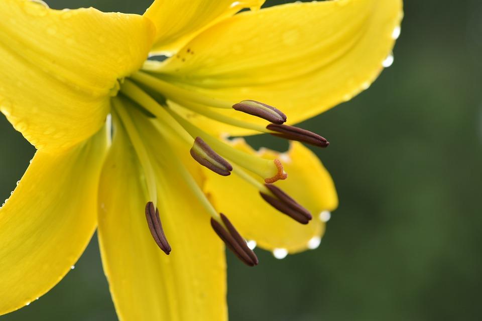 Dahlia, Yellow, Bloom, Garden, Flowers