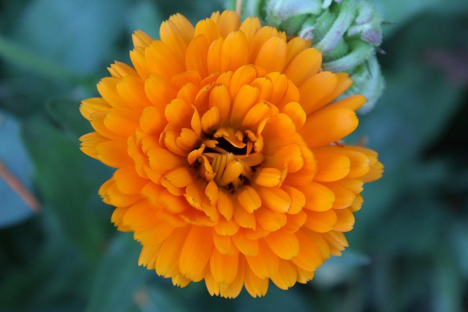 Blossom, Bloom, Marigold, Yellow, Gardening, Plant