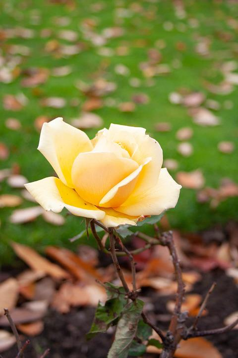 Free photo bloom yellow rose plant flower romantic nature max pixel yellow rose flower bloom romantic plant nature mightylinksfo