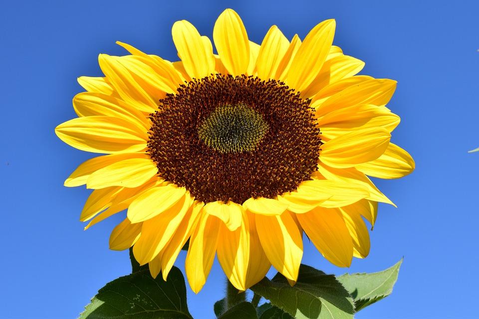 Sunflower, Yellow, Flower, Blossom, Bloom