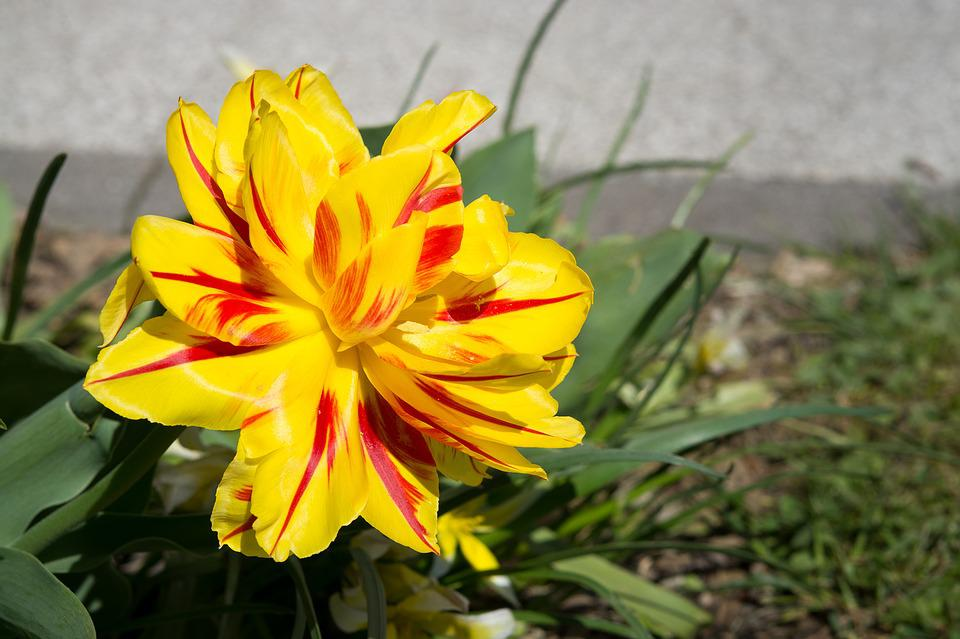 Tulip, Yellow Red, Yellow, Yellow Tumor, Blossom, Bloom