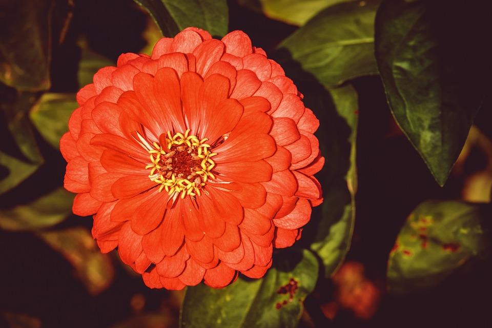 Zinnia, Flower, Blossom, Bloom, Orange, Plant