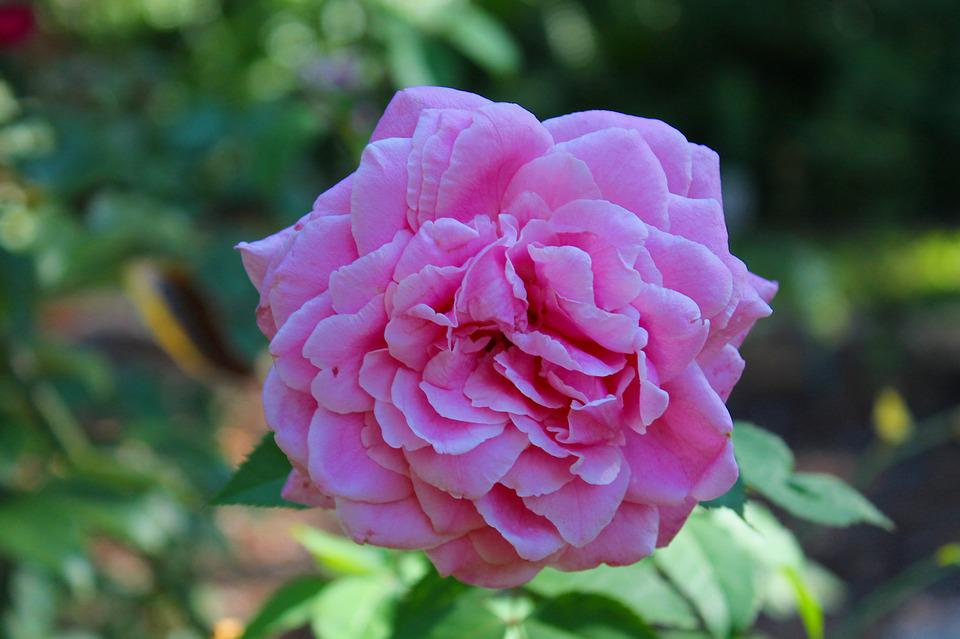 Rose, Flower, Nature, Pink, Blossom, Blooming