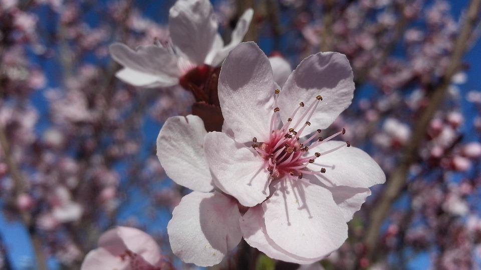 Blossom, Plum Tree, Spring, Flower, White, Blooming
