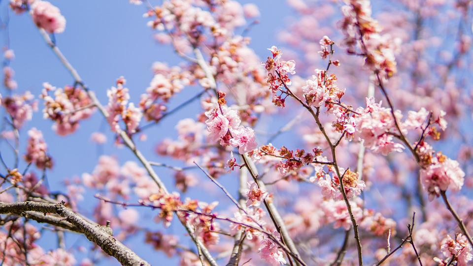 Cherry Blossom An Anese Pink Sakura Blooming