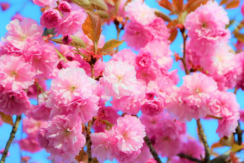 Flower, Spring, Nature, Plant, Color, Pink, Blooming