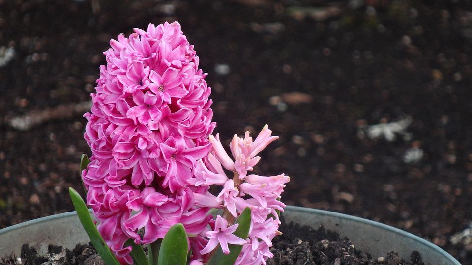 Flower, Nature, Flora, Blooming, Color, Leaf, Garden