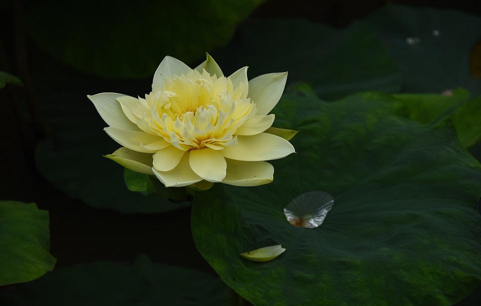 Golden Lotus, Dress, Outdoor, Blooming, Lotus