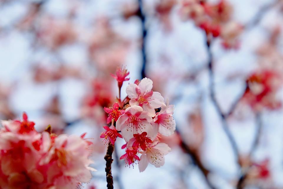 Sakura, Pink, Blooming, Tree, End Of Winter, Beautiful