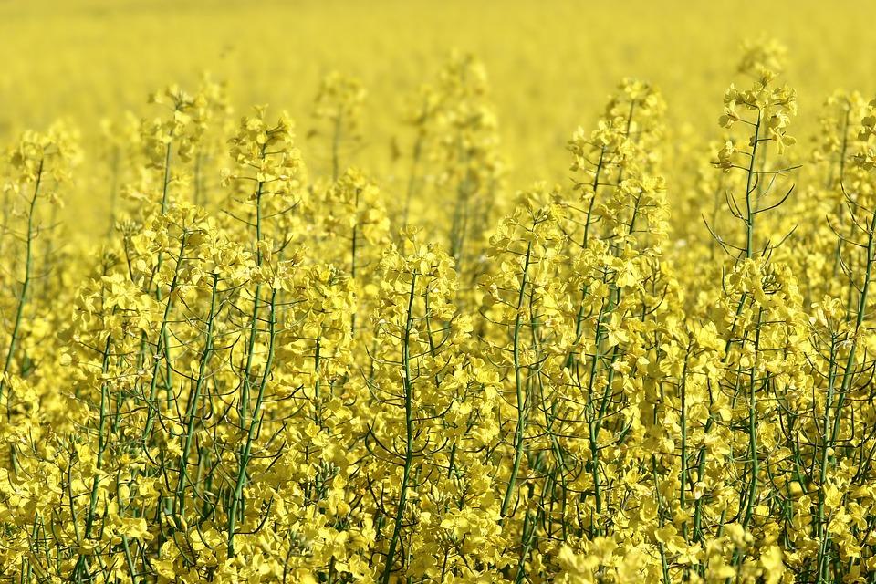 Rapeseed, Field, Yellow, Blooming