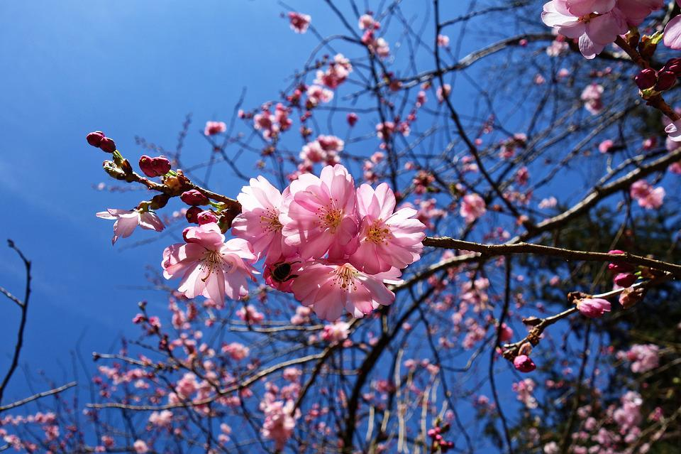 Cherry Blossom, Flower, Cherry Tree, Branch, Blooming