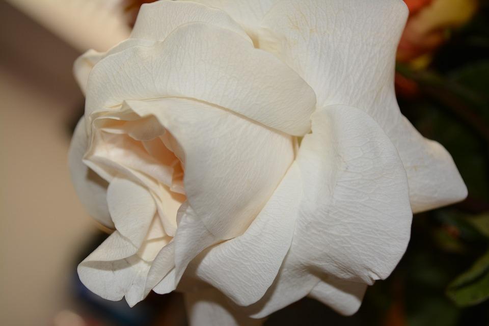 Flower, Flowers, Garden, Rose, Plant, Blooming